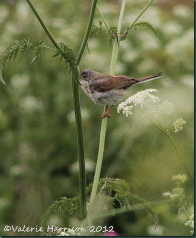 20-whitethroat