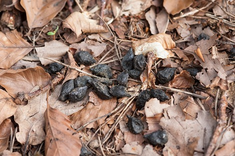 Roe Deer droppings