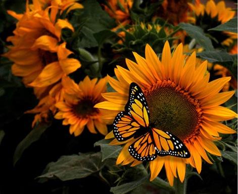 Fotografia-Girasol-mariposa