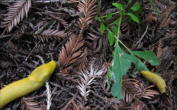 banana slug Ariolimax columbianus 24