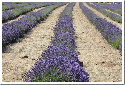 110710_Mt_Shasta_Lavender_Farm_58