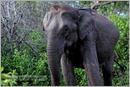 _P6A1735_wild_elephants_mudumalai_bandipur_sanctuary
