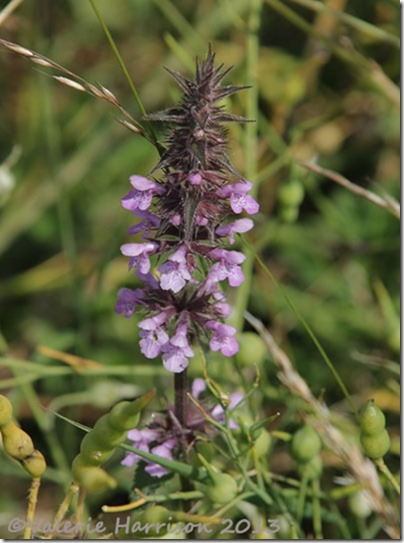 13-hedge-woundwort