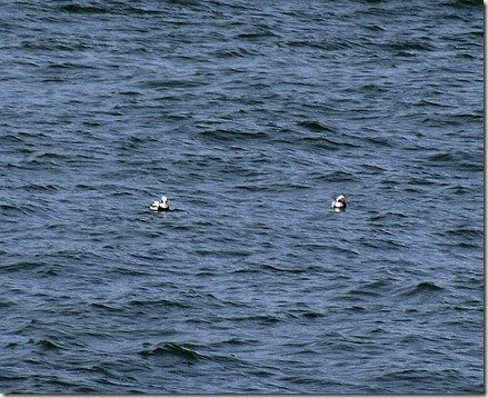 Long-tailed ducks, sea ducks, Chesapeake Bay