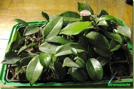 Pianta hoya carnosa e hoya diffuse in coltivazione for Pianta di cera