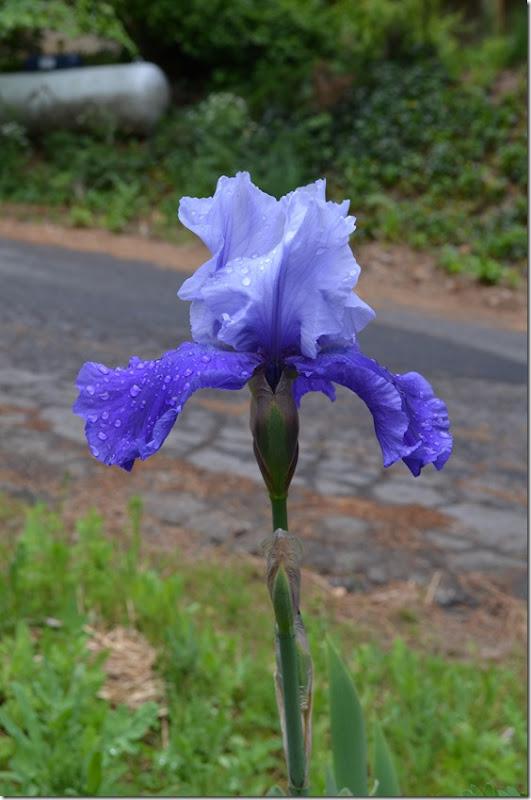 two tone iris