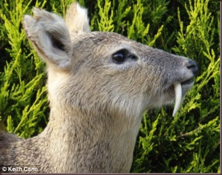 Amazing Animal Pictures Water Deer (4)