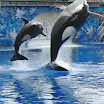 Killer whales perform at Seaworld.JPG