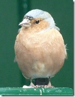 dunvegan chaffinch male
