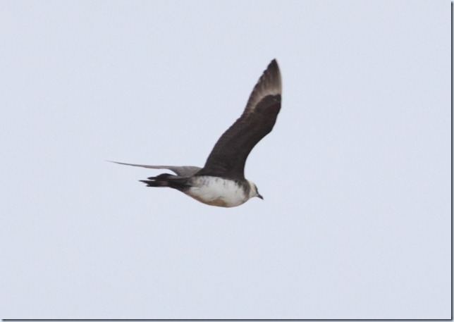arctic_skua