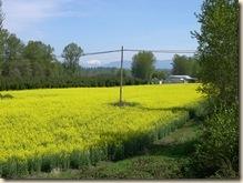 field of golden c