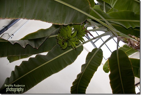 nature_20120814_bananas