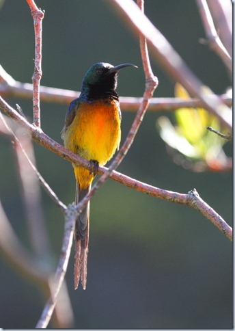 orange-breasted_sunbird1