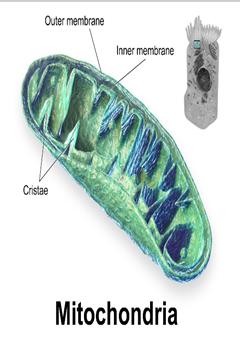 Fungsi Mitokondria