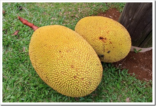 130712_Hana_Highway_breadfruit_003