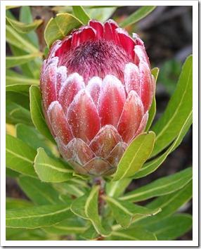 120211_UCSC_Arboretum_Protea-Pink_02