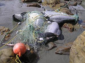 Hector's dolphins die in fishing nets. NZ Department of Conservation