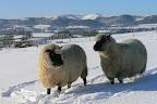 Ewes snow malverns compress.JPG