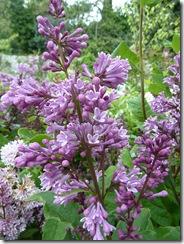 smeaton lilac