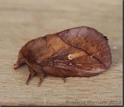 Drinker-Moth-4
