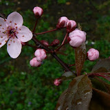 Prunus pissardii - Prunus mirobolan