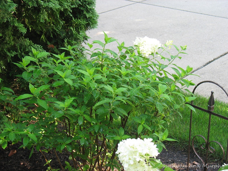 one bloom hydrangea bush