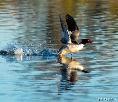 4. common merganser-kab