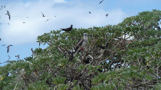 Red-footed Booby und Noddies.