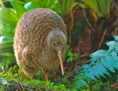 Amazing Pictures of Animals, Photo, Nature, Incredibel, Funny, Zoo, Apteryx, Kiwis, Bird, Aves, Alex (1)