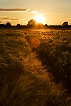 Summer-Barley-10