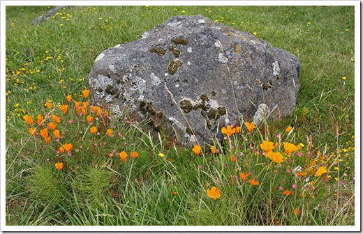 110712_california_poppies_and_rock