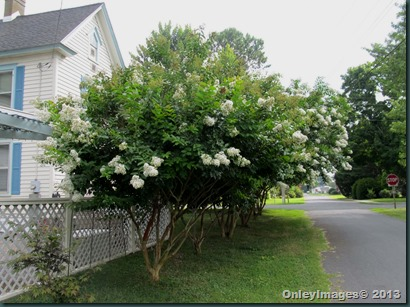 crepe myrtles side0723 (5)