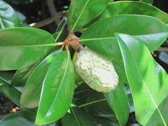 Ed Gorey house magnolia seed head2