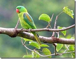 Parrot-BN_MR7817-w