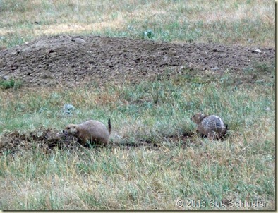2013 Sep 08_Custer State Park Wildlife Loop South 2nd time_0576