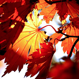 Fall Leaves  by Thaddaeus Smith - Nature Up Close Leaves & Grasses ( red, fall, leaves, maple,  )