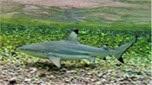 Indo-Pacifique requin à pointes noires