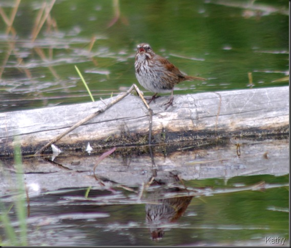 Song Sparrow on a log