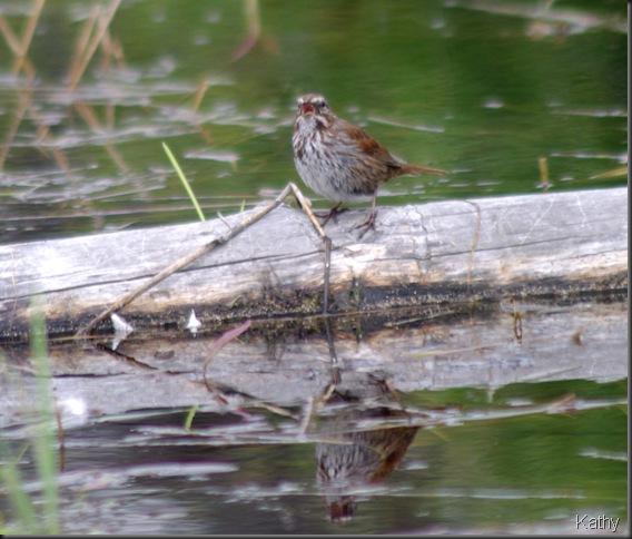 Song Sparrow on a log