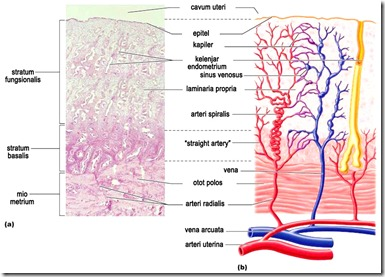 Endometrium1
