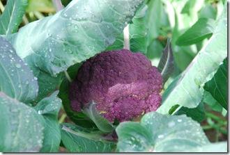 Brócolos roxos  DSC_0472DSC_052018
