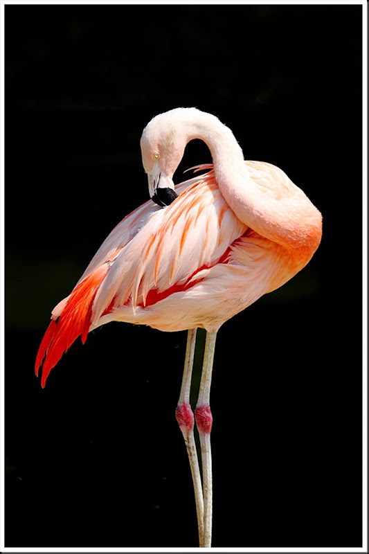 Chilean_Flamingo_2128