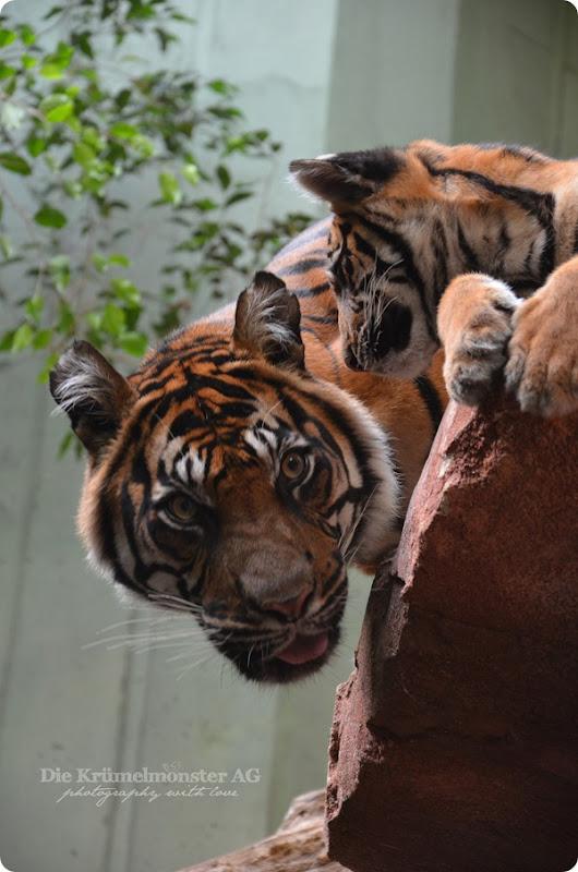 Zoo Frankfurt Tiger Berani 150813 (3)