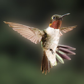 by Lyle Gallup - Animals Birds ( bird, nature, hummingbird, animal )