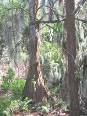 Florida Marriott Cypress Harbour cypress trees w spanish moss
