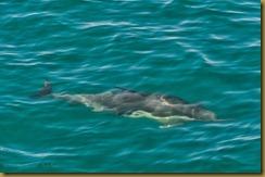 - Long-beaked Common Dolphin_DSC5229seacher day 1 May 29, 2010 NIKON D300