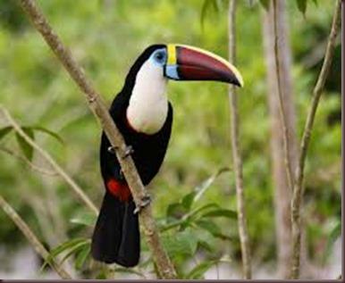 Amazing Pictures of Animals photo Nature exotic funny incredibel Zoo, Ramphastidae, Toucan, Bird, Alex (18)