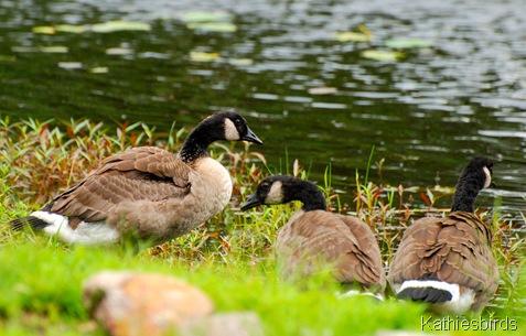 4. goose family-kab