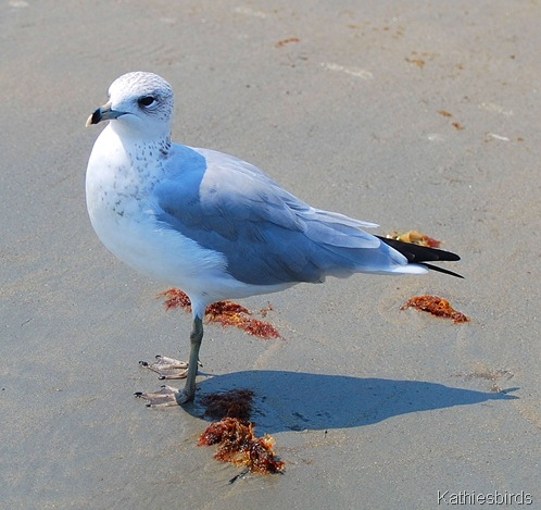 7. Ring-billed gull-kab