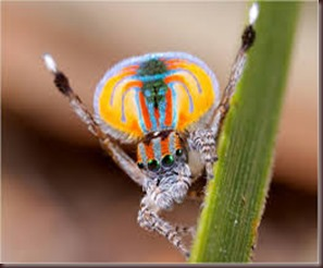 Amazing Pictures of Animals, photo, Nature ,exotic, funny, incredibel, Zoo, Maratus volans,  Peacock spider or Gliding spider, Alex (23)